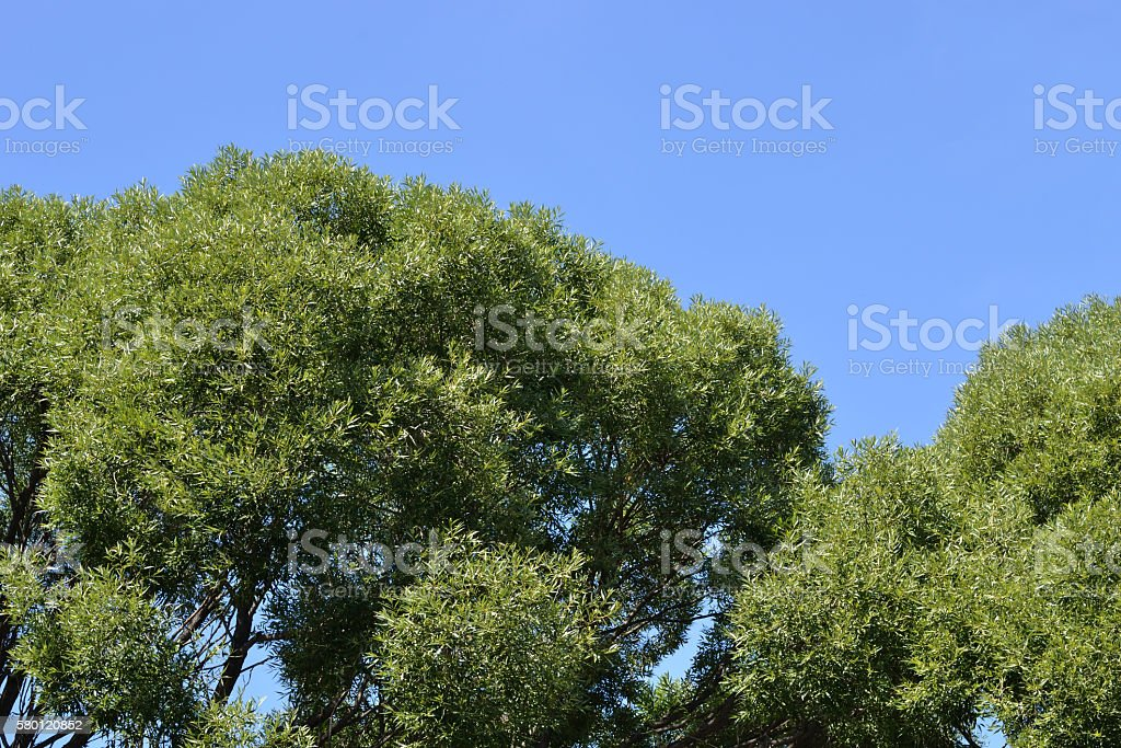 Green crown of trees and sky. stock photo
