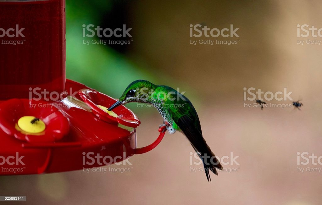 Green Crowned Brilliant Hummingbird stock photo