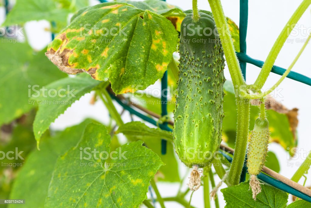 green cucumber on bush in hothouse close up stock photo