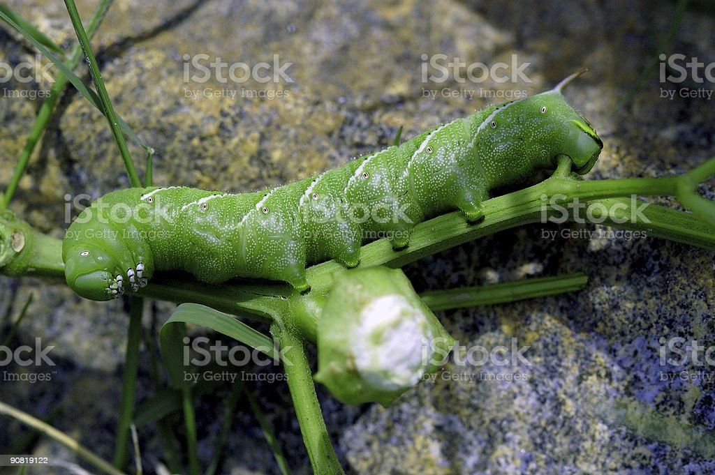 green cut worm in garden royalty-free stock photo