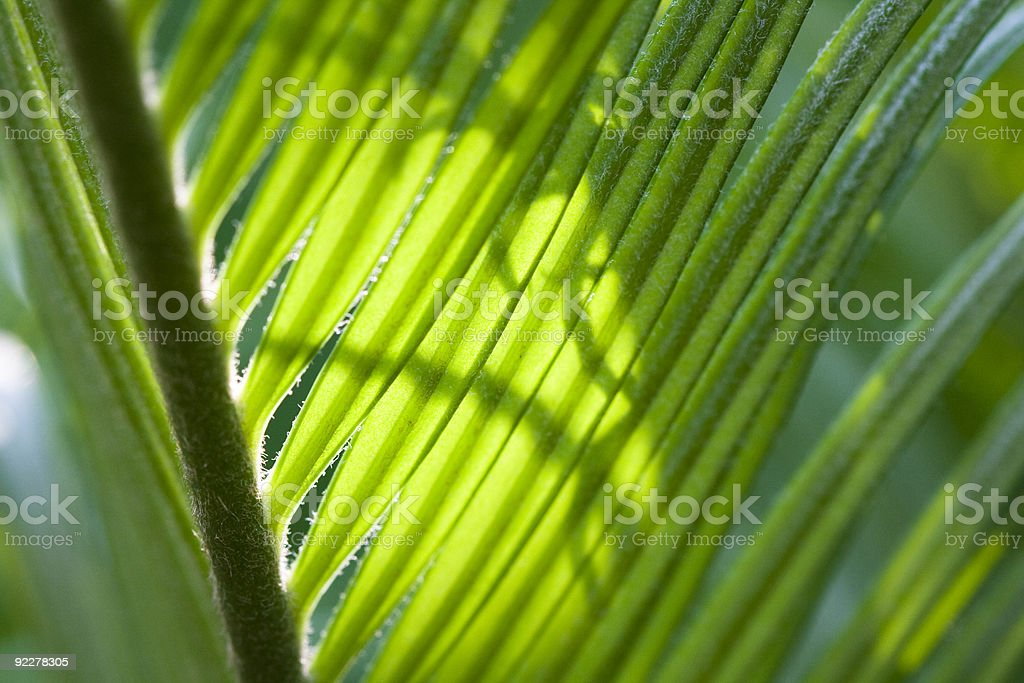 Green Cycas young leaf royalty-free stock photo