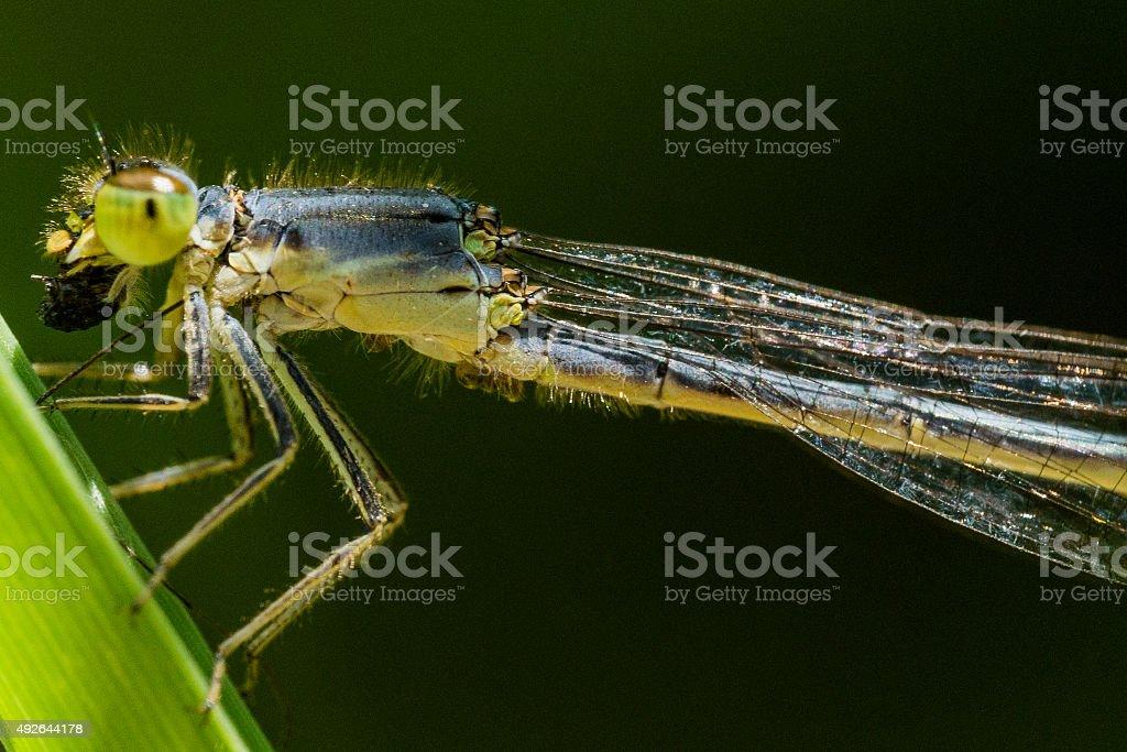 Green Damselfly Eats Bug in Profile View stock photo