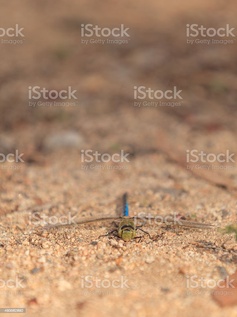 Green darner dragonfly, Anax junius stock photo