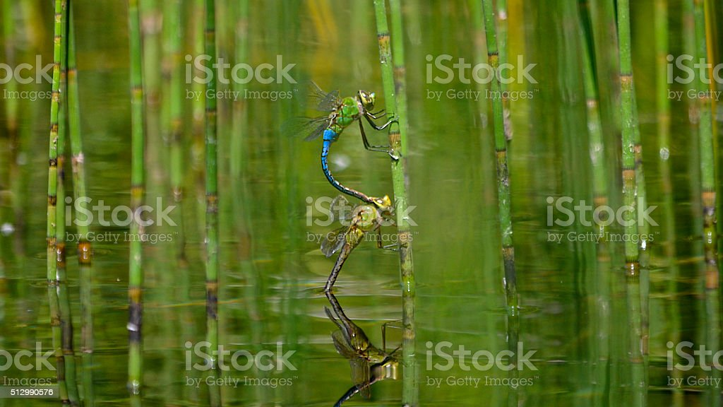 Green Darners Laying Eggs in Reeds stock photo