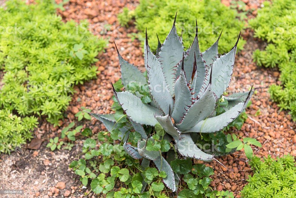 Green desert plant in desert garden. stock photo