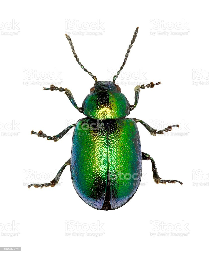 Green Dock Beetle on white Background stock photo