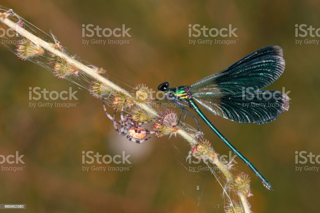 A green dragonfly and a large cross spider on a branch of a flowering plant. stock photo