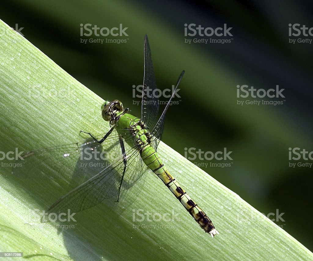 green dragonfly on leaf royalty-free stock photo