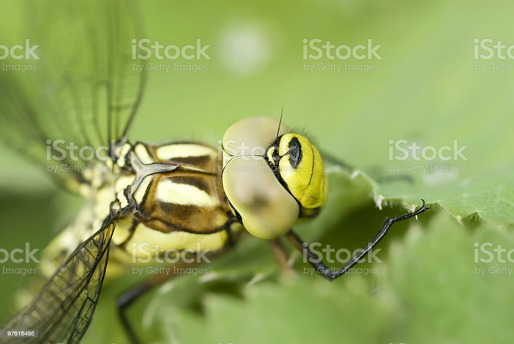 Green dragonfly on leave close-up stock photo