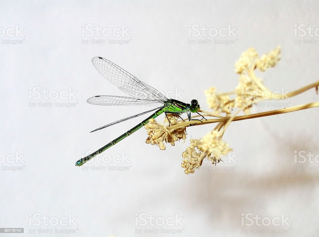 Green Dragonfly royalty-free stock photo