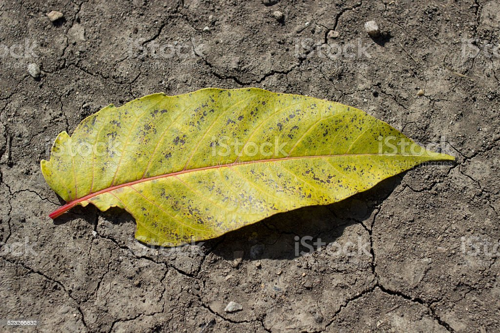 Green drying leaf on dry cracked earth stock photo