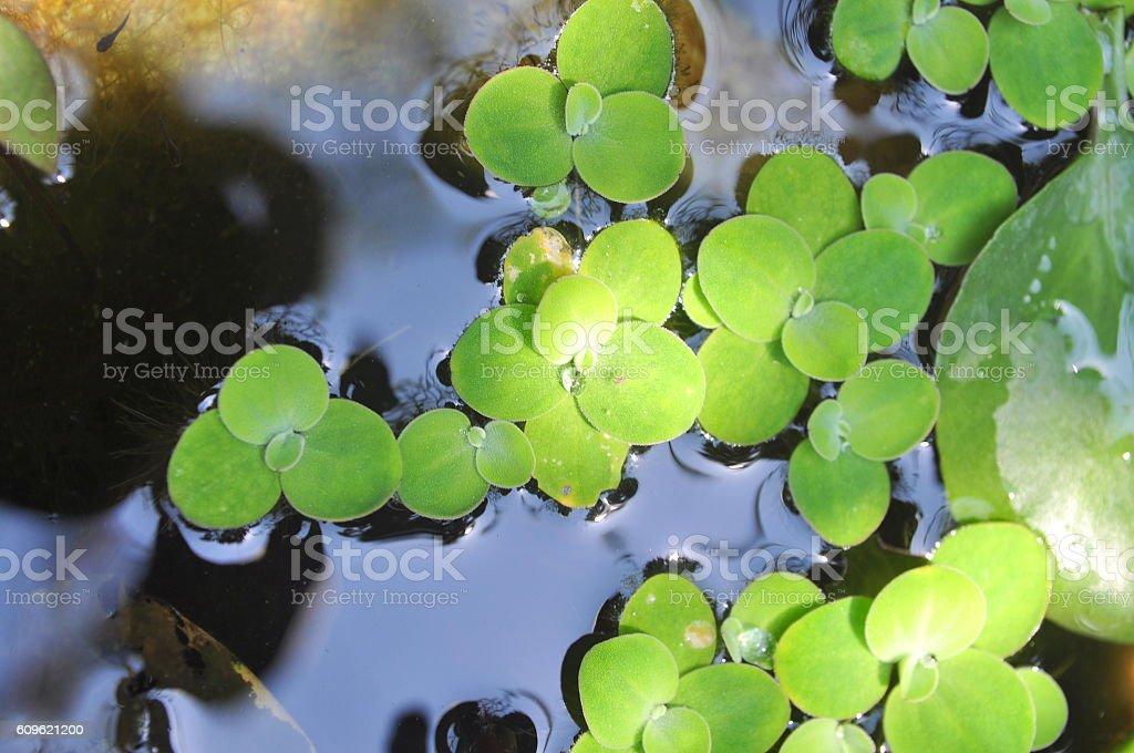 Green duckweed on the water stock photo