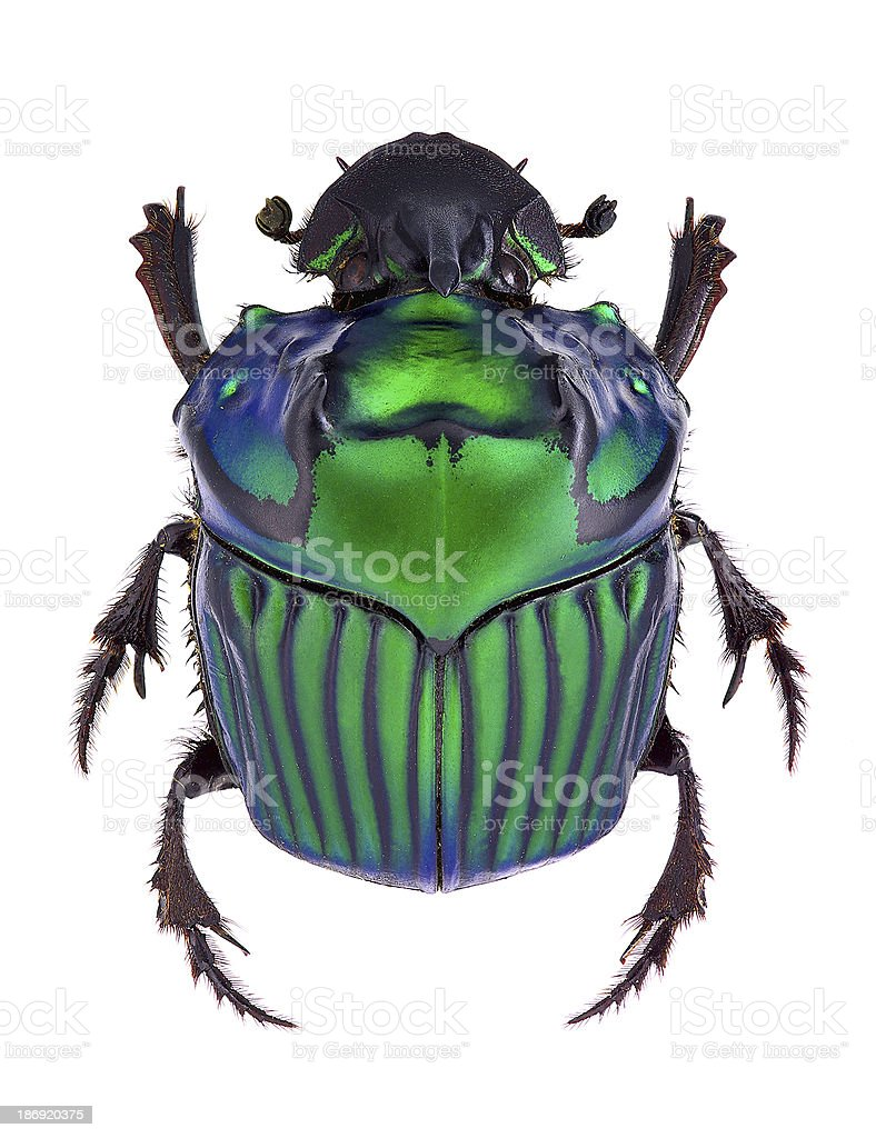Green dung beetle stock photo