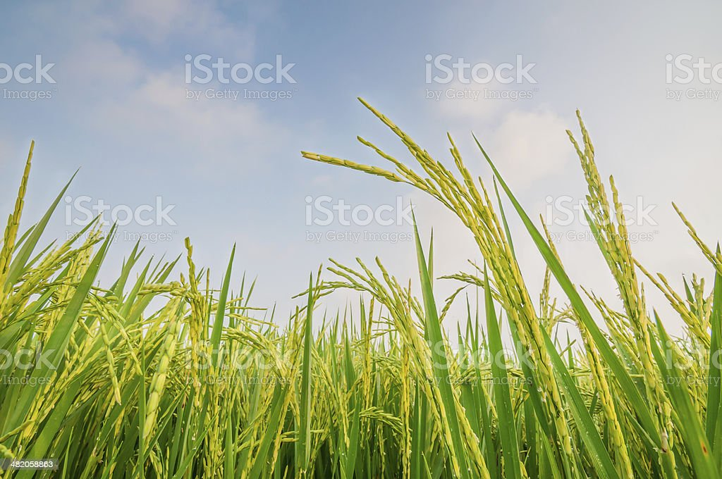green ear of rice in paddy field stock photo