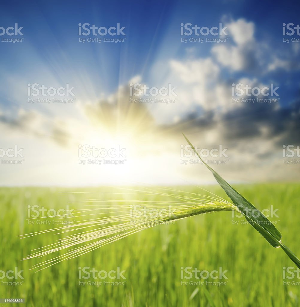 green ear over field and sunset royalty-free stock photo