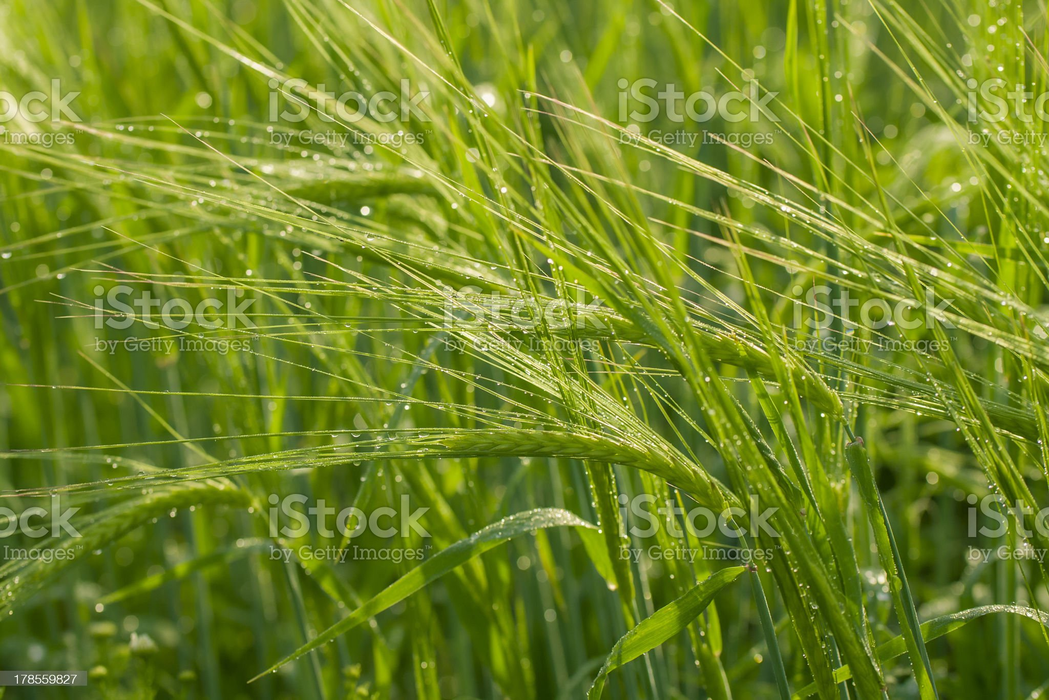 Green ears of wheat royalty-free stock photo