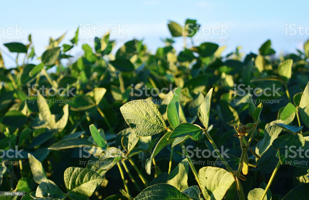Green eco soy fields.Outdoor and field. stock photo
