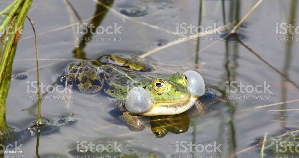 Green, Edible Frog (Rana esculenta synkl.) Male calling stock photo