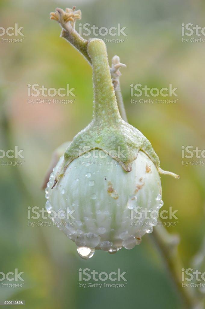 green eggplant tree stock photo