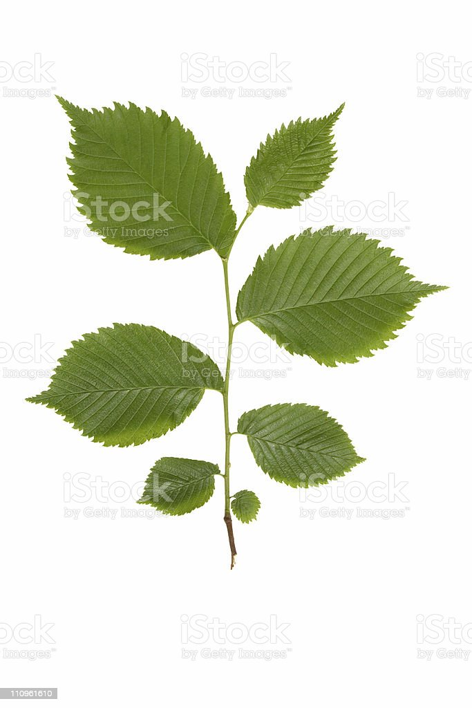 Green elm branch. royalty-free stock photo