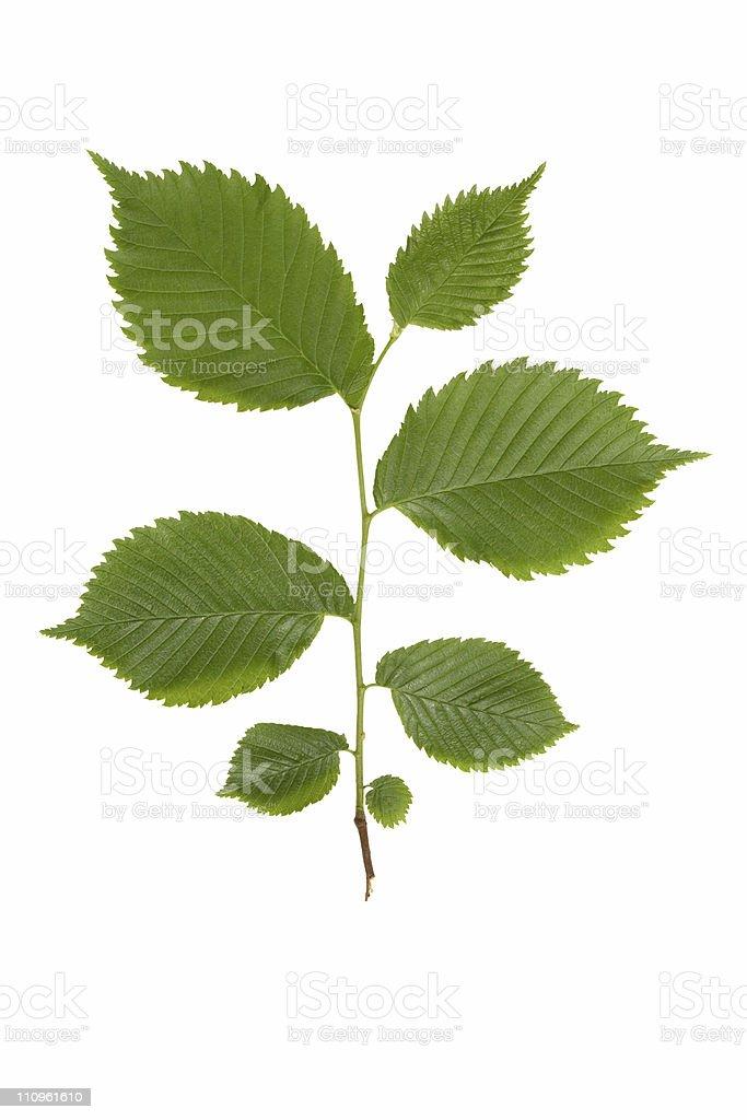 Green elm branch. stock photo