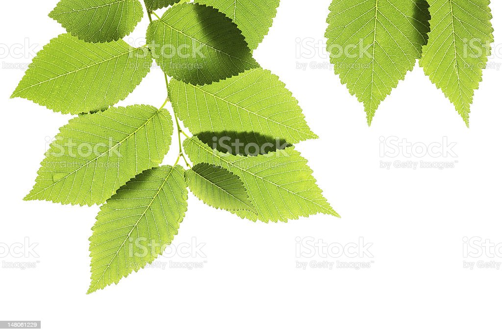 Green elm leaves isolated on white royalty-free stock photo
