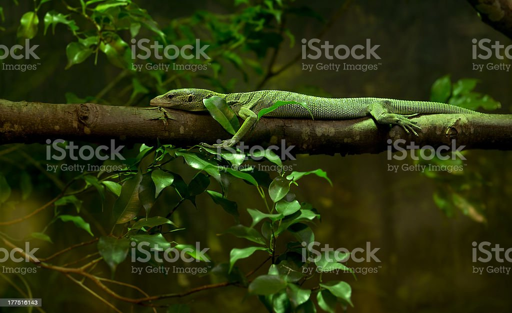 Green / Emerald Tree Monitor, Varanus Prasinus royalty-free stock photo