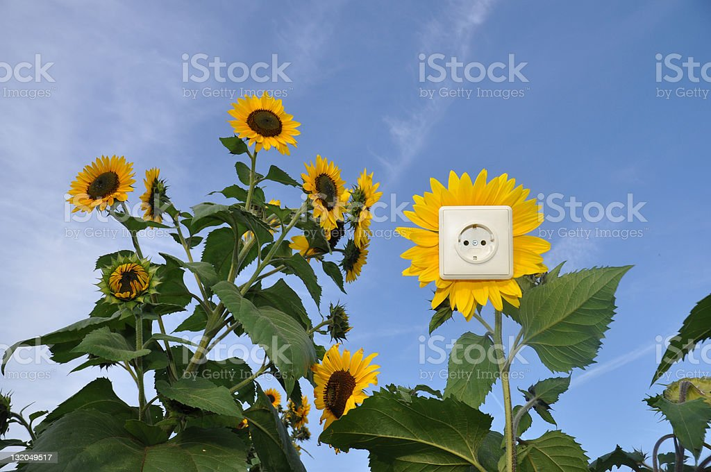 Green energy - socket in sunflower royalty-free stock photo