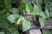 green Epipremnum aureum plants in nature garden