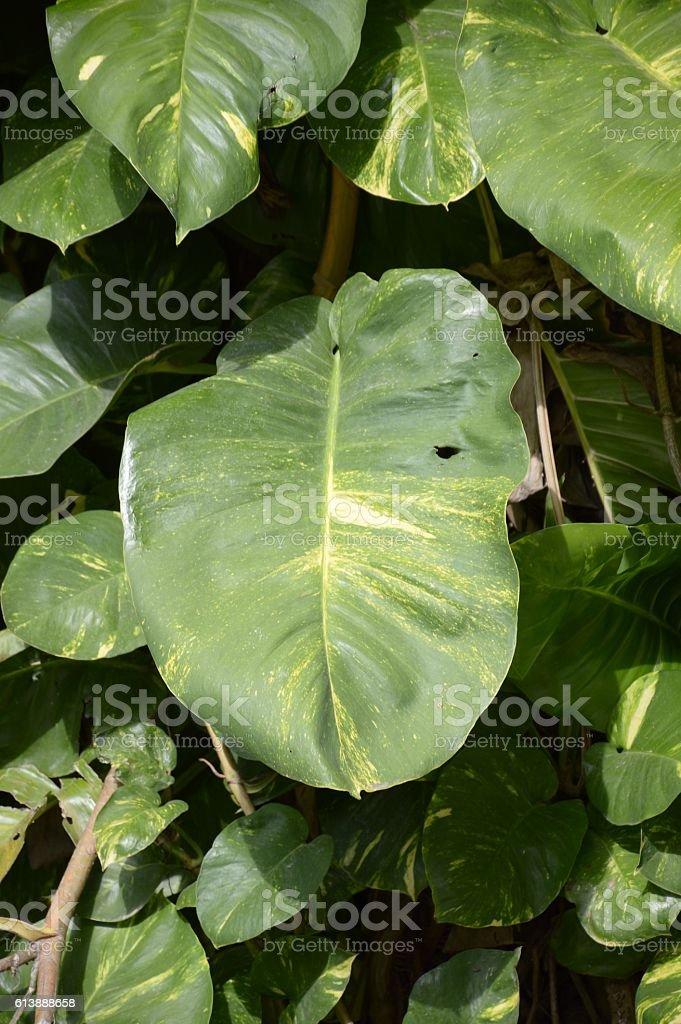 green Epipremnum aureum plants in nature garden stock photo