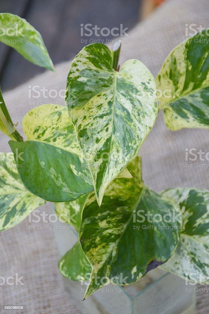 green Epipremnum aureum plants stock photo