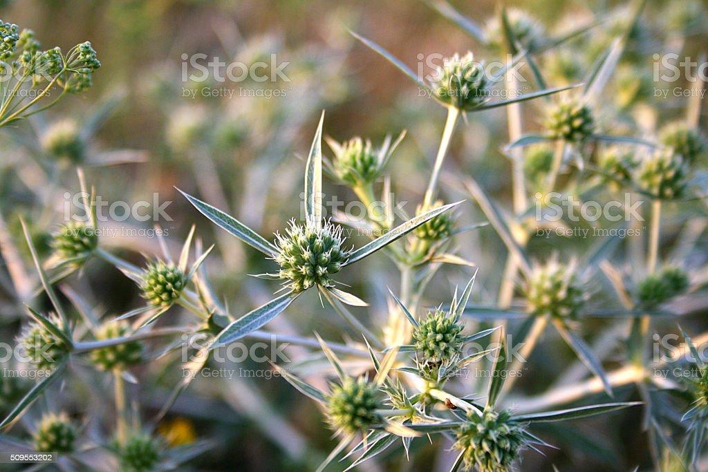 Green Eryngium Variifolium stock photo