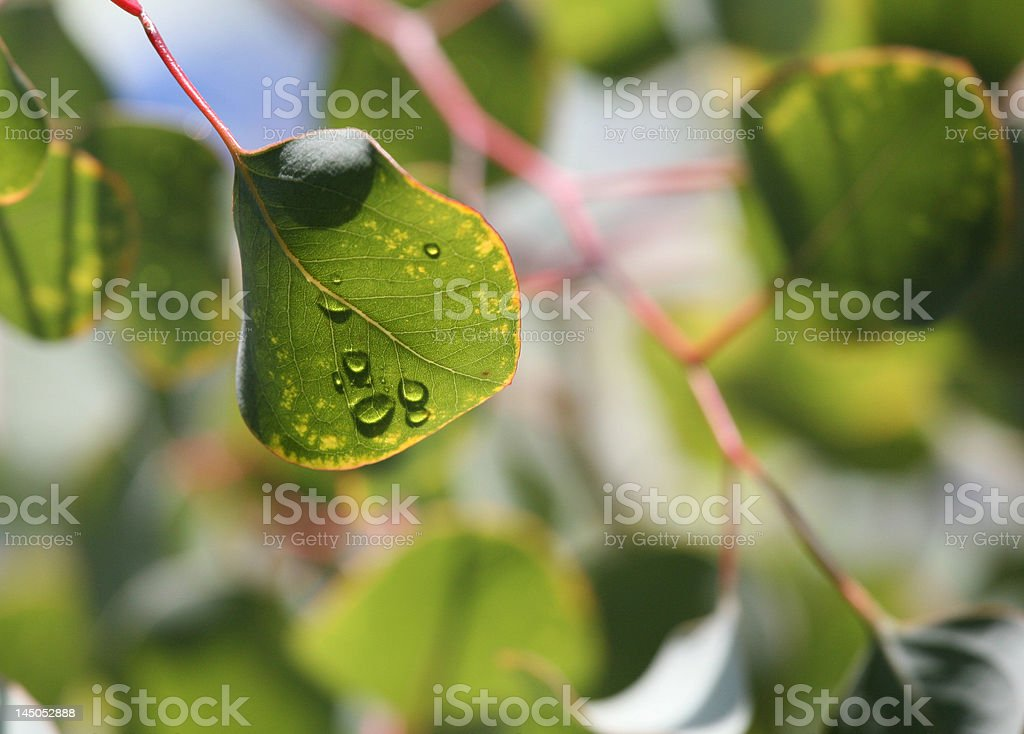 Green Eucalyptus Leaf Plant After Morning Rain royalty-free stock photo
