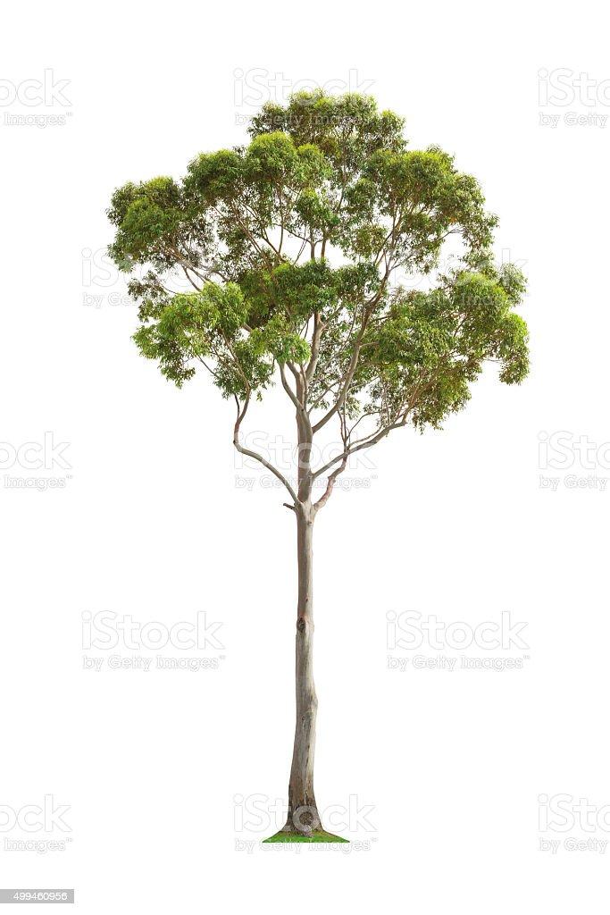 Green eucalyptus tree stock photo