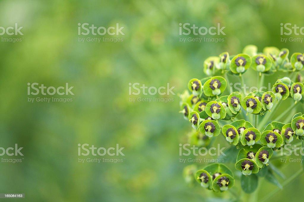 Green Euphorbia Hyberna Spurge flowers with copyspace stock photo