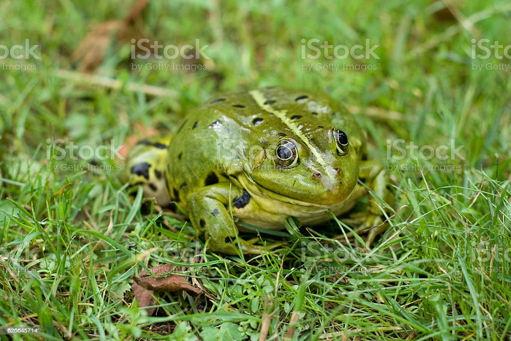 Green European frog in the grass stock photo