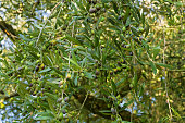 Green European Olive fruit on its tree branches during Autumn
