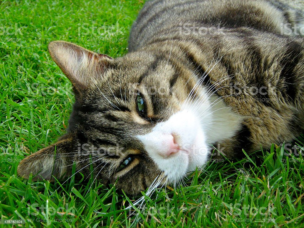 Green Eyed Cat in Grass stock photo