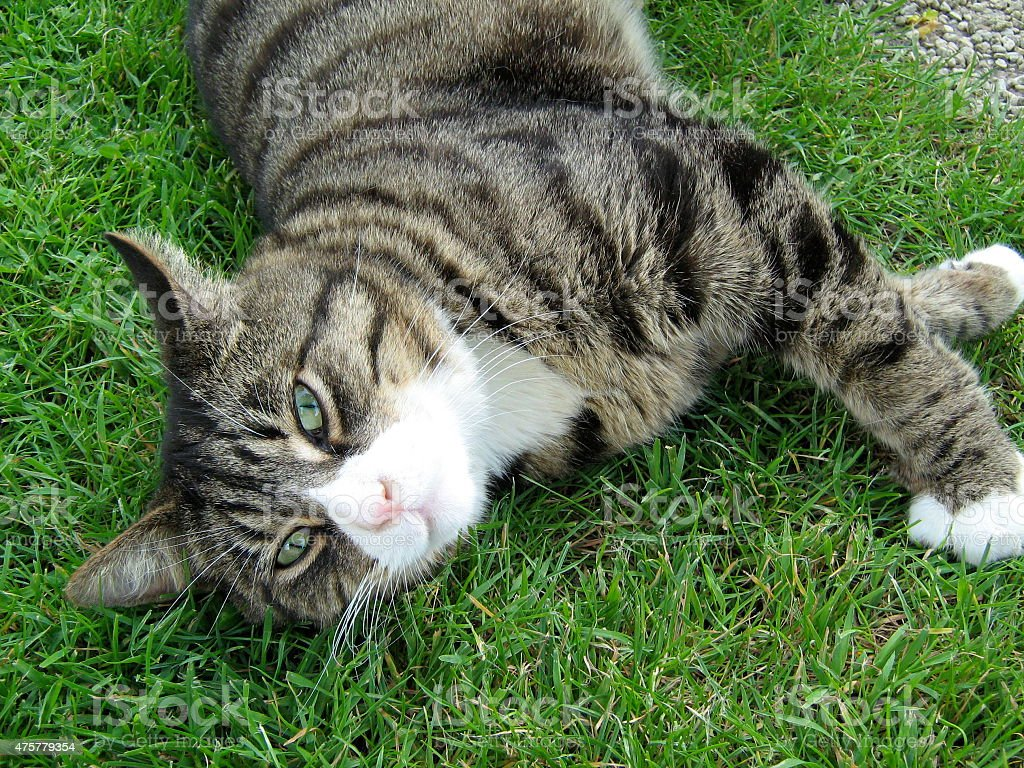 Green Eyed Cat Stretching stock photo