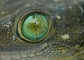 Green Eyed Gecko - Gekko smithi (G.Stentor)