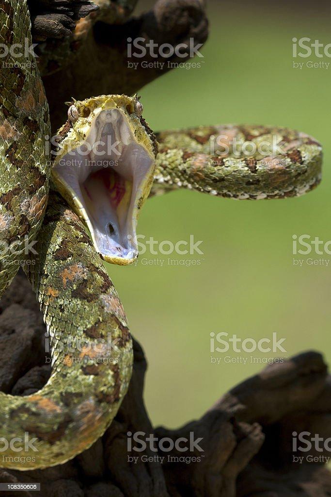 Green Eyelash Viper Snake Ready to Strike stock photo