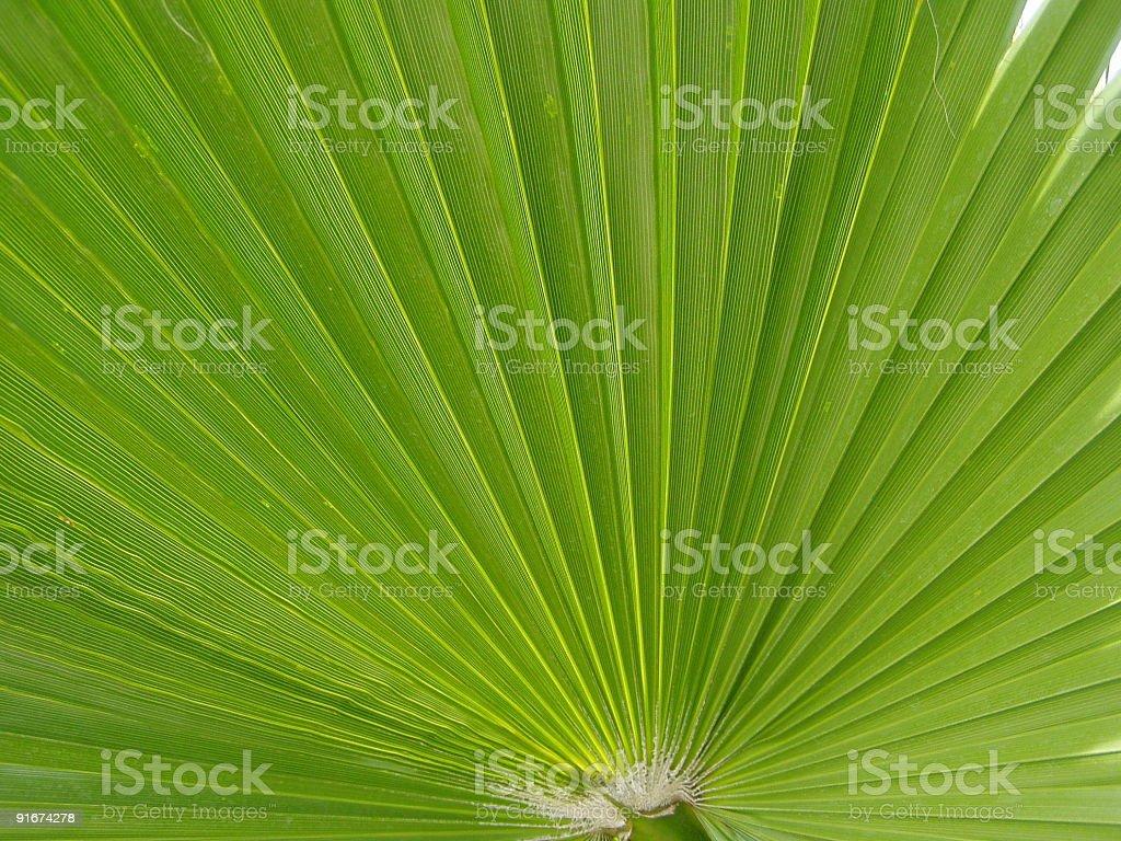 Green fan palm leaf royalty-free stock photo
