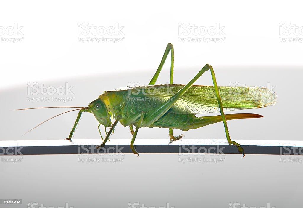 green female grasshopper royalty-free stock photo