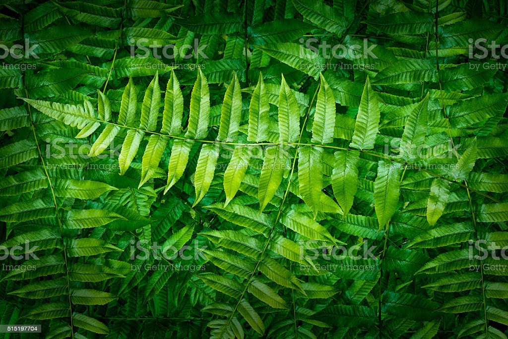 Green fern in forest stock photo