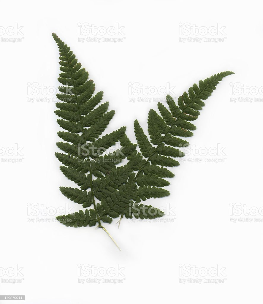Green Fern isolated on a white background royalty-free stock photo