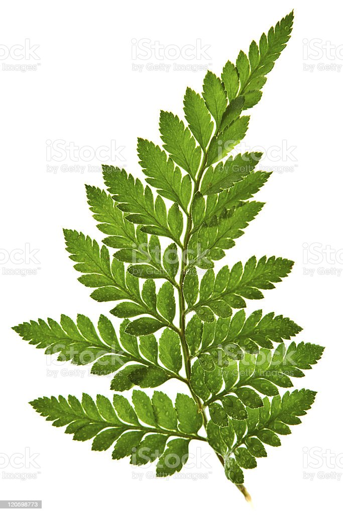 Green fern leaf isolated on a white background stock photo