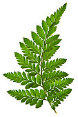 Green fern leaf isolated on a white background