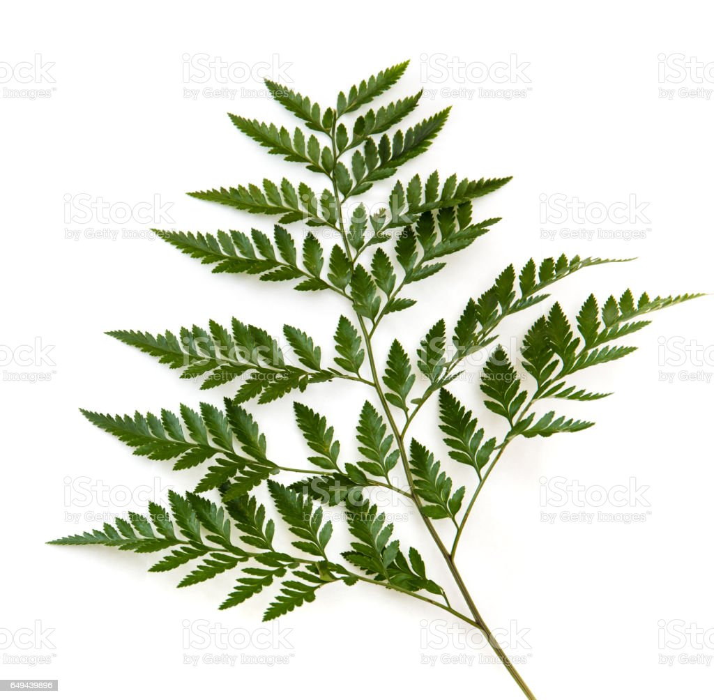 Green fern leaf isolated on white background stock photo
