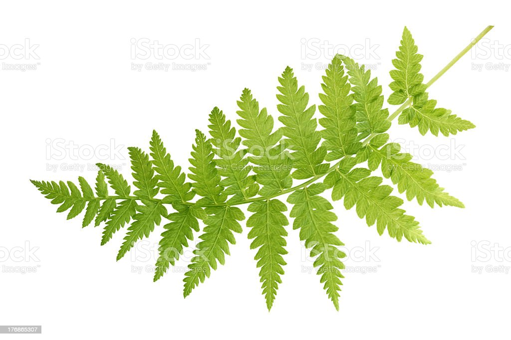 Green fern leaves isolated on white background stock photo
