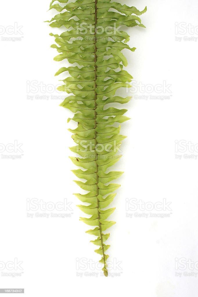 Green fern on white background royalty-free stock photo